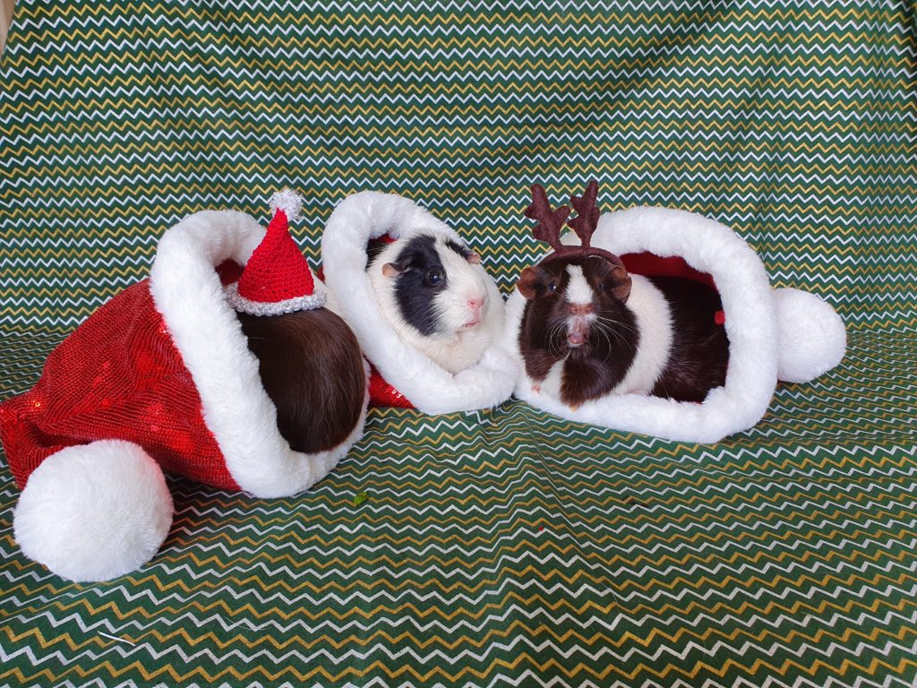 three little guinea pigs in christmas hats